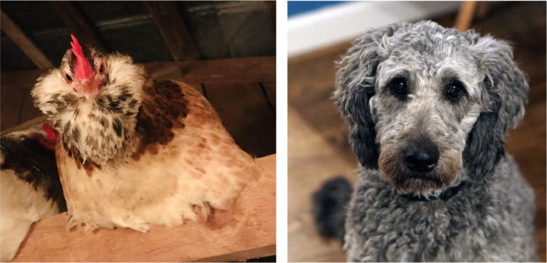 A Faverolles chicken roosting in a barn and a close up of gray golden doodle dog.