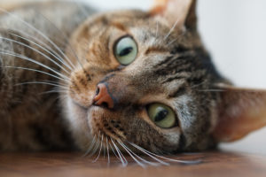 A close up of the face of a gray stripey cat.