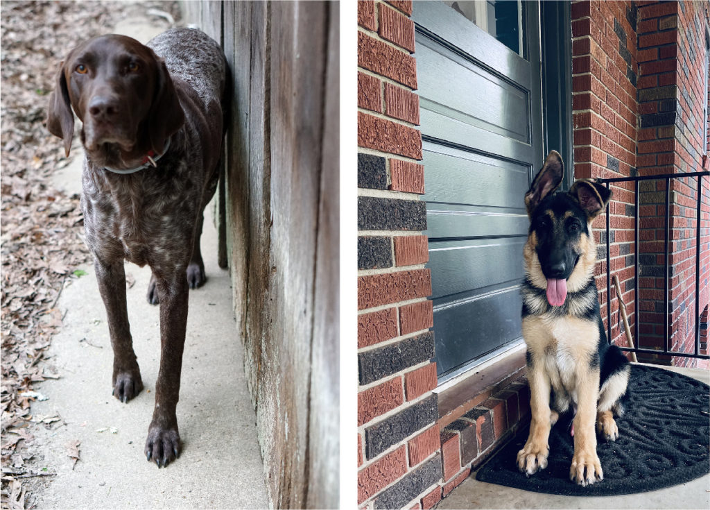 A mostly brown with white speckling German short haired pointer dog, standing on a cement pad near a wooden wall and a regal looking German shepherd on the porch of a brick home.